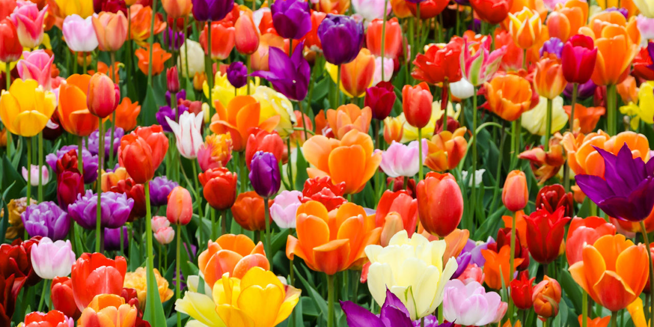 Looking for Spring Break Ideas near Dallas? Check out Tulipalooza